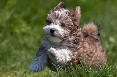 Cachorros de PEQUENO PORTE | Conheça 5 RAÇAS