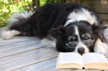 INTELIGÊNCIA CANINA | Qual é a RAÇA mais inteligente?
