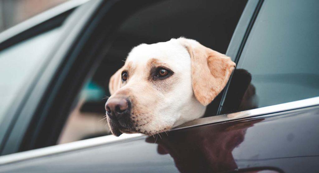 cinto de segurança para cachorro 1 1024x555 - CINTO DE SEGURANÇA para Cachorro | É Importante?