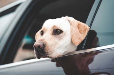 CINTO DE SEGURANÇA para Cachorro | É Importante?