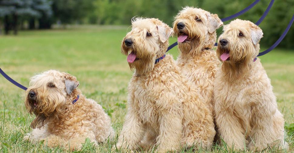 cachorros de médio porte 8 - CACHORROS DE MÉDIO PORTE   Descubra as RAÇAS Mais Procuradas