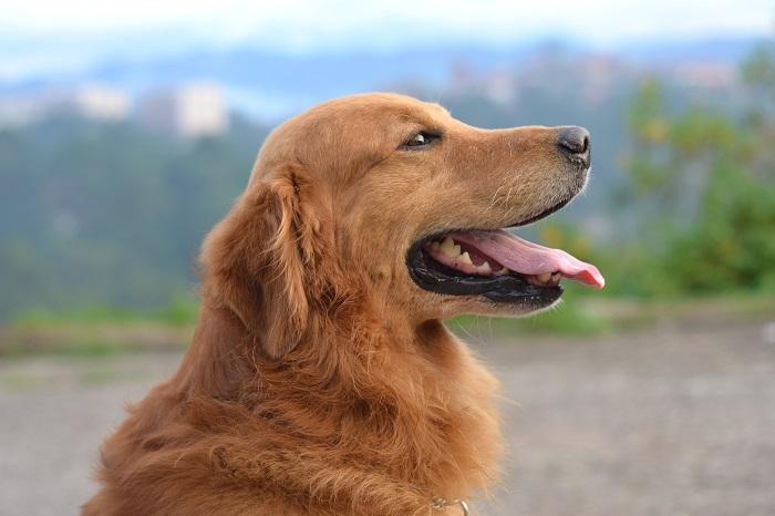 cachorro de grande porte 3 - CACHORROS DE GRANDE PORTE   Conheça 5 Raças