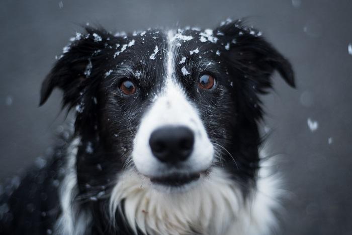 cachorro de grande porte 4 - CACHORROS DE GRANDE PORTE   Conheça 5 Raças