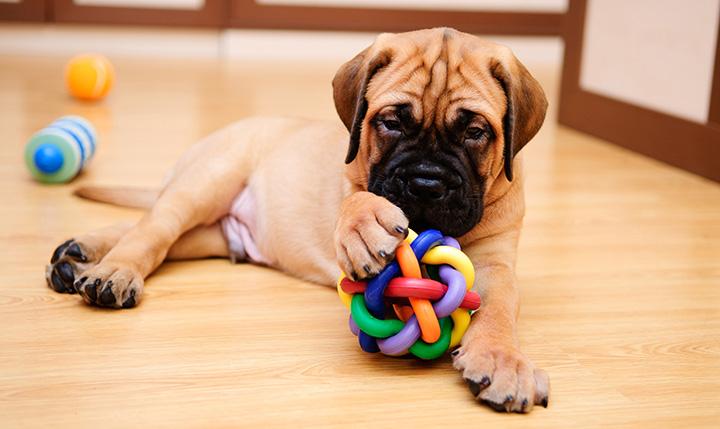 cachorro que gosta de roer 2 - CACHORRO QUE GOSTA DE ROER | Saiba Como Evitar