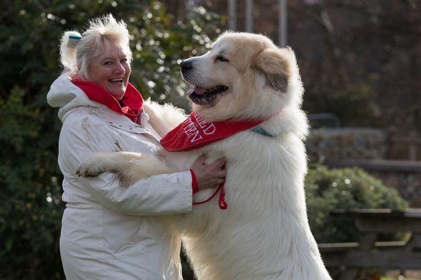 cachorros de grande porte 1 - CACHORROS DE GRANDE PORTE   Conheça 5 Raças