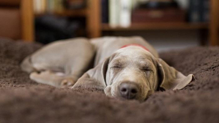 cachorros sonham 4 - CACHORROS SONHAM? Confira e Descubra Tudo