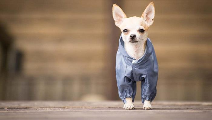 roupa para cachorro  - Roupa para Cachorro | É realmente necessário para seu pet?