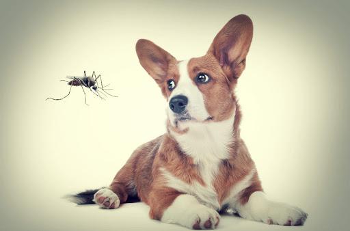 pernilongos picam cachorros 2 - PERNILONGOS PICAM CACHORROS, Proteja seus PETS