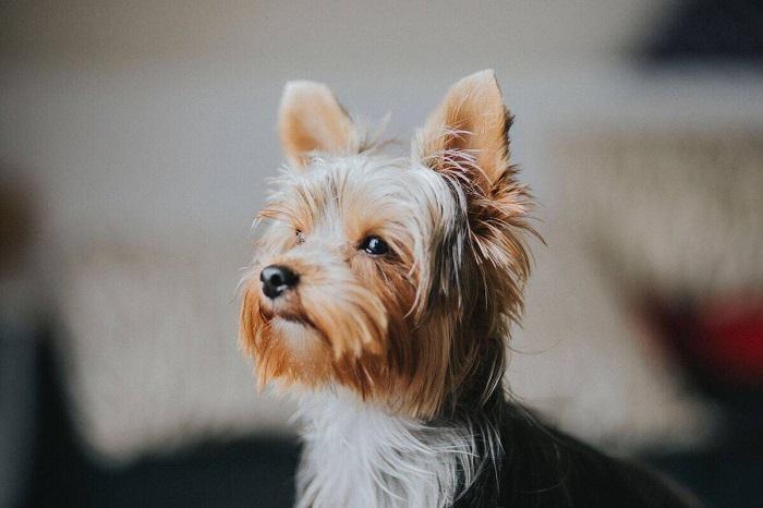 Yorkshire 1 - Yorkshire Terrier: Saiba Tudo Sobre essa Linda Raça