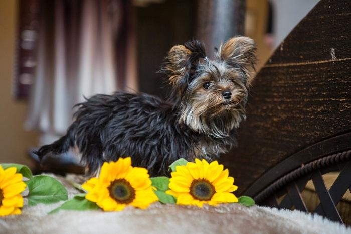 Yorkshire 10 - Yorkshire Terrier: Saiba Tudo Sobre essa Linda Raça