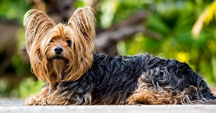 Yorkshire 3 - Yorkshire Terrier: Saiba Tudo Sobre essa Linda Raça