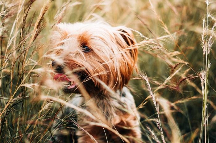 Yorkshire 4 - Yorkshire Terrier: Saiba Tudo Sobre essa Linda Raça