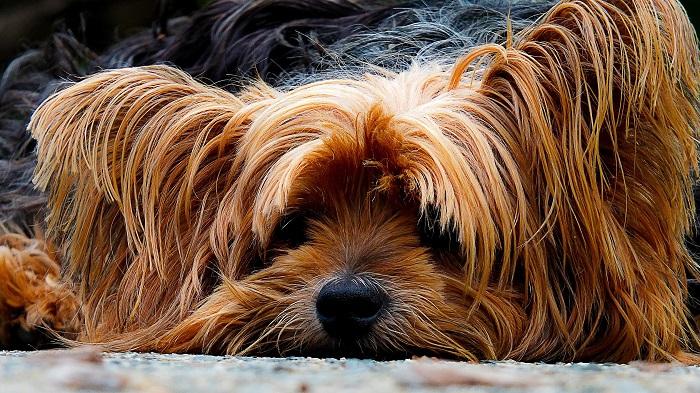 Yorkshire 5 - Yorkshire Terrier: Saiba Tudo Sobre essa Linda Raça