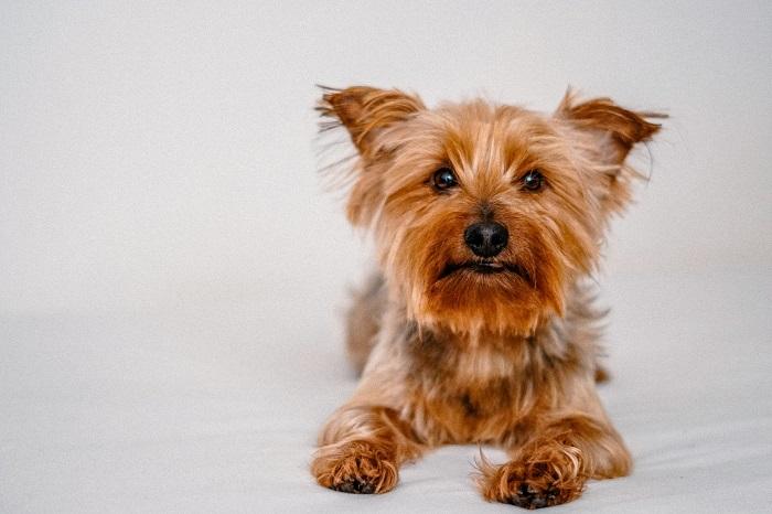 Yorkshire 6 - Yorkshire Terrier: Saiba Tudo Sobre essa Linda Raça
