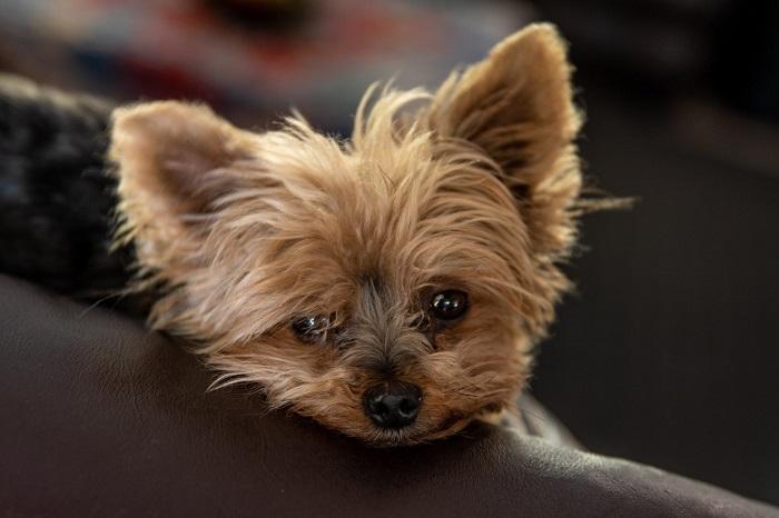 Yorkshire 8 - Yorkshire Terrier: Saiba Tudo Sobre essa Linda Raça