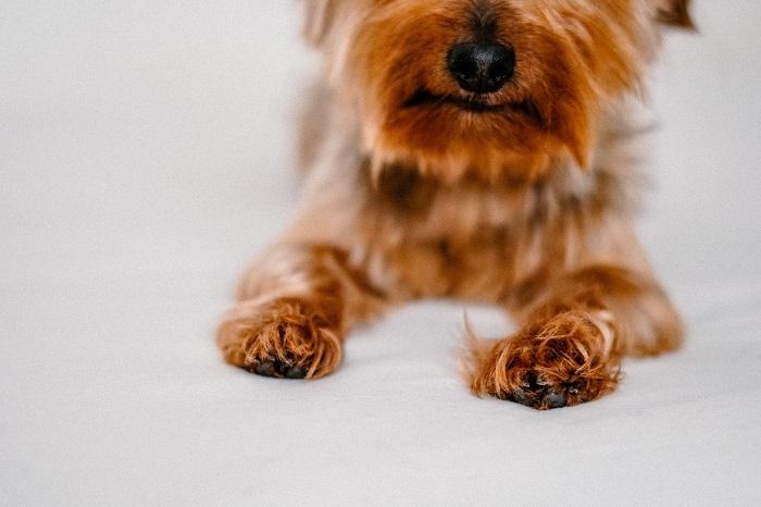 Yorkshire 9 - Yorkshire Terrier: Saiba Tudo Sobre essa Linda Raça